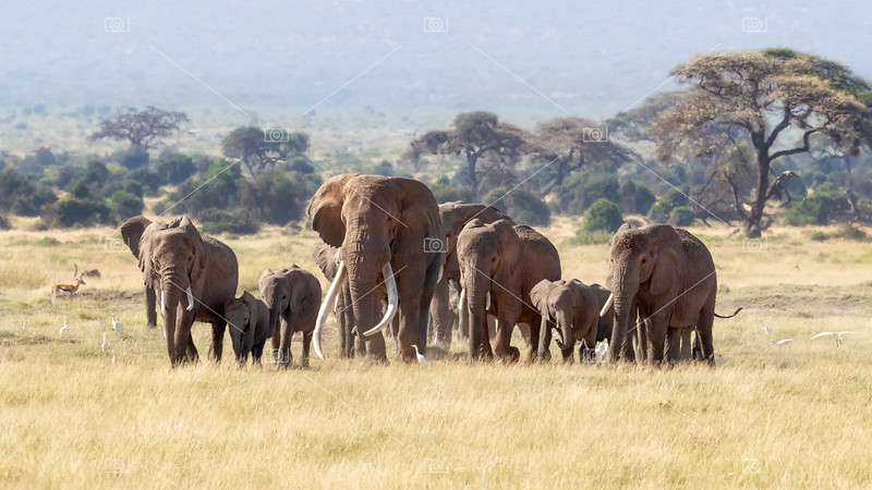 Bull elephant with a herd of females and babies in Amboseli, Kenya
