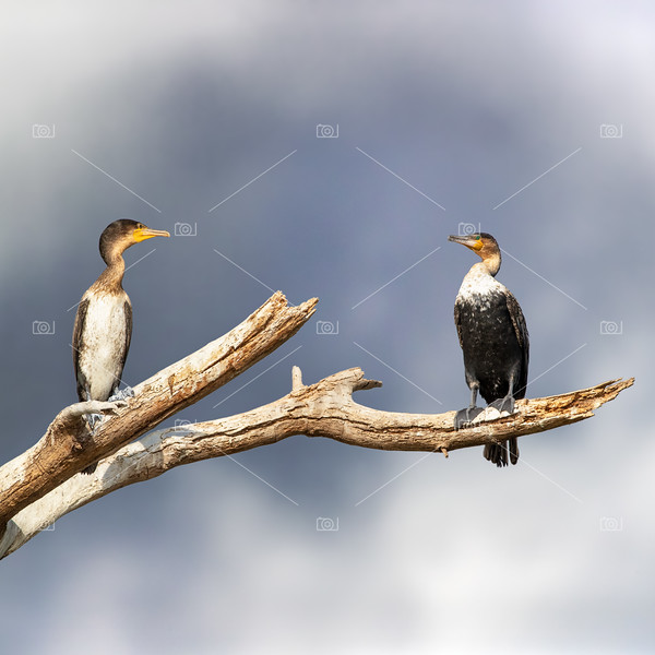 Adult and juvenile cormorants at Lake Naivasha