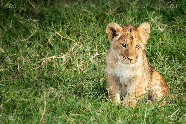 Lion cub sitting in the grass of the Masai Mara