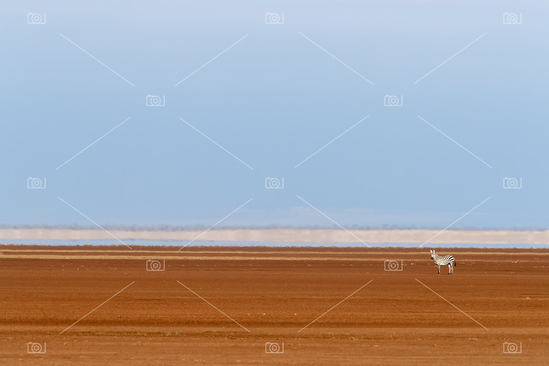 Lone zebra in the dry lake basin of Amboseli, Kenya