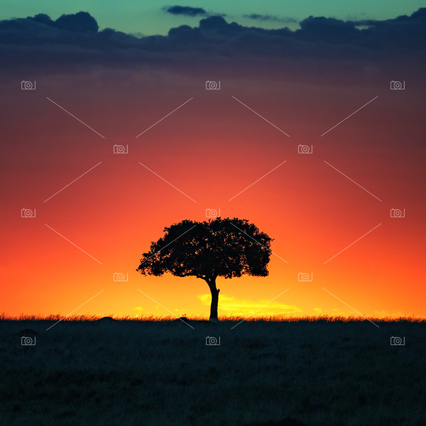 Acacia tree at sunset in the Masai Mara