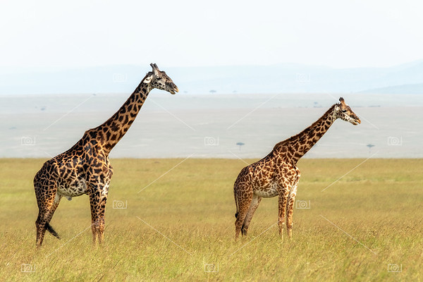 Male and female giraffe in the Masai Mara