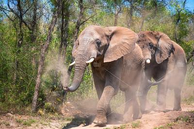 Elephants taking a dust shower