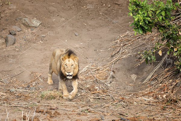 Solitary male lion in Kruger National park.