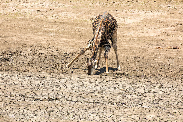 Giraffe at dried up waterhole in Kruger