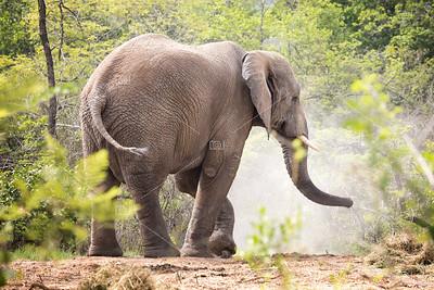 Adult bull elephant side view.