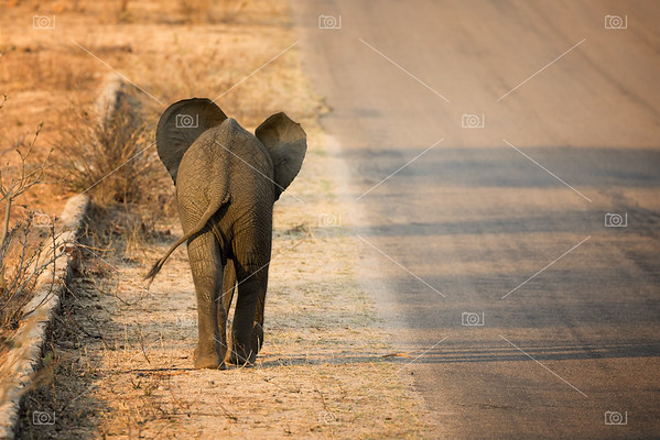 Baby elephant rear view