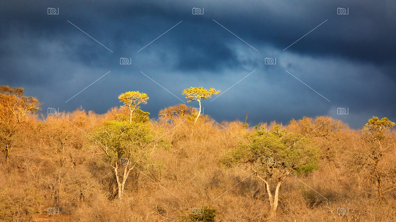 Dramatic stormy sky with sunshine lighting foreground acacia trees. Kruger National Park, South Africa.