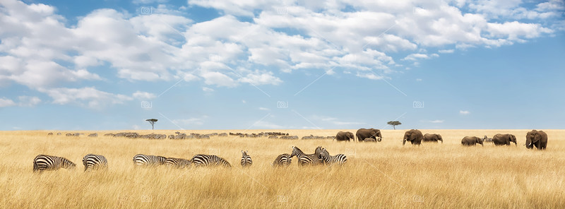 Elephants and zebra panorama