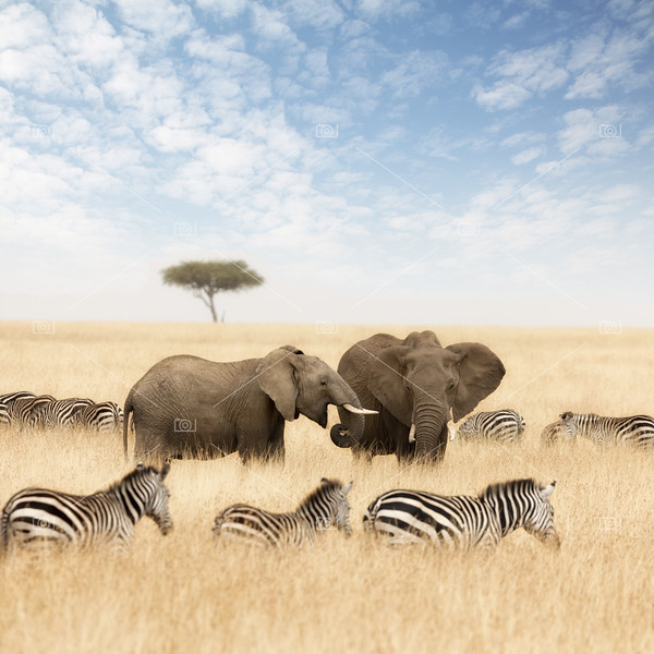 Elephants and zebras in the grasslands of the Masai Mara