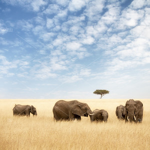 Elephant group in the grassland of the Masai Mara