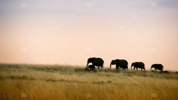Elephants walking at sunset