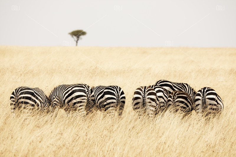 Back view of Zebras in a row