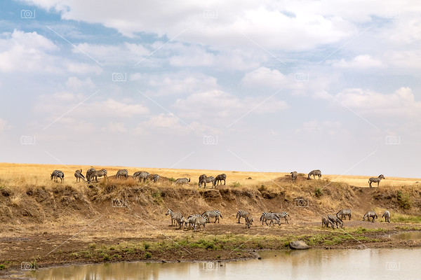 Zebra grazing on the banks of the Mara river