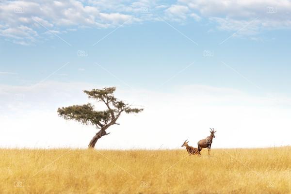 Topi pair and acacia tree in the Masai Mara