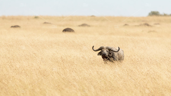 Buffalo grazing in red oat grass