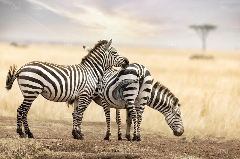 Zebra trio in the Masai Mara at dusk