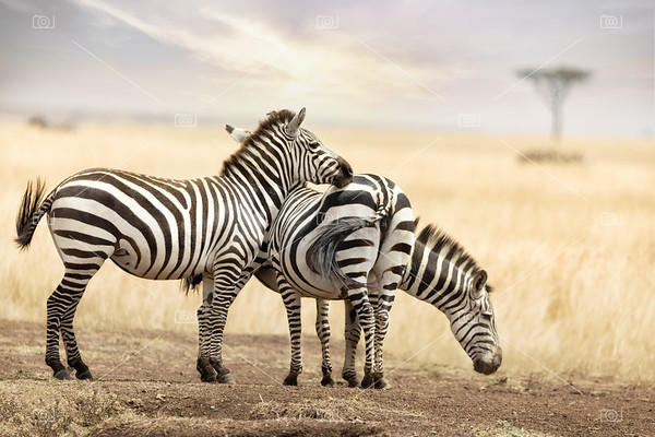 Zebra trio in the Masai Mara at dusk