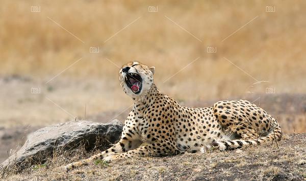 Yawning cheetah in the Masai Mara
