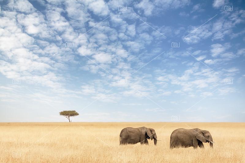 Two elephants walking in the Masai Mara