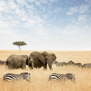 Elephants and zebras in the Masai Mara