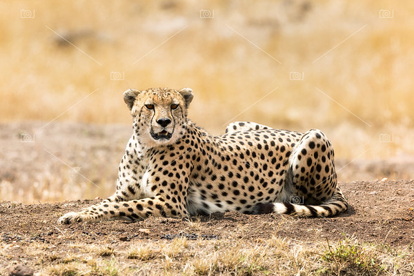 Cheetah in afternoon sunlight