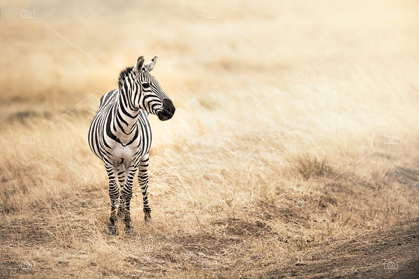 Zebra in afternoon sunlight