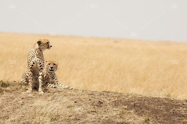 Cheetah pair in the Masai Mara