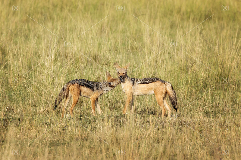 Black-backed jackels