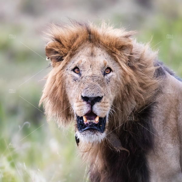 Young adult male lion in the Masai Mara, Kenya