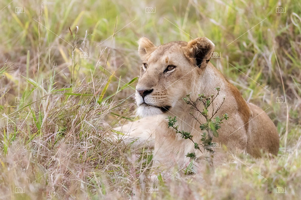 Alert lioness resting in the long grass of the Masai Mara