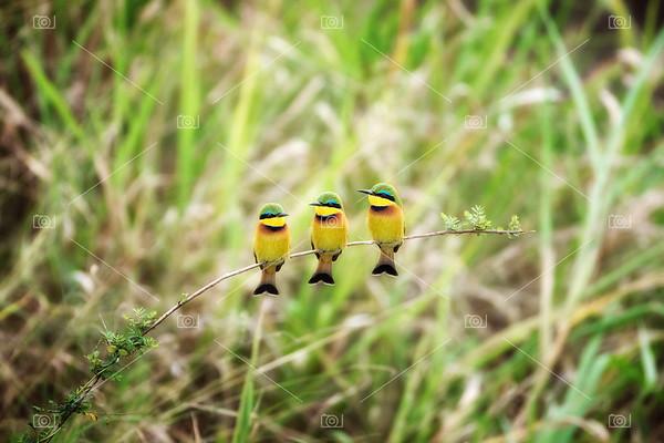 Bee-eater trio