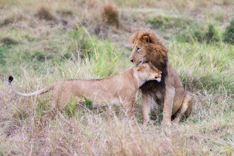 Male and female lion in the Masai Mara