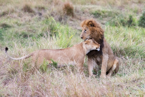 Male and female lion in the Masai Mara