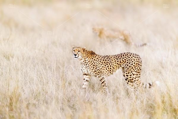 A pair of cheetahs move steathily through the long grass of the Masai Mara