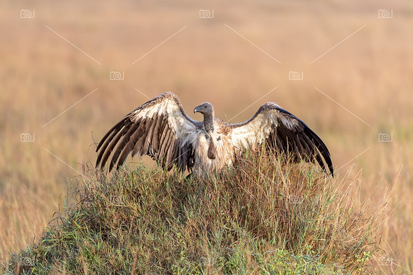 A white-backed vulture warms in the morning sun