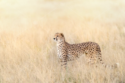 Adult cheetah in sunlight in the Masai Mara