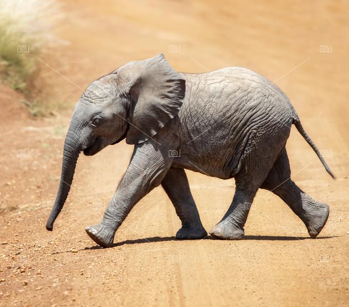Baby African elephant