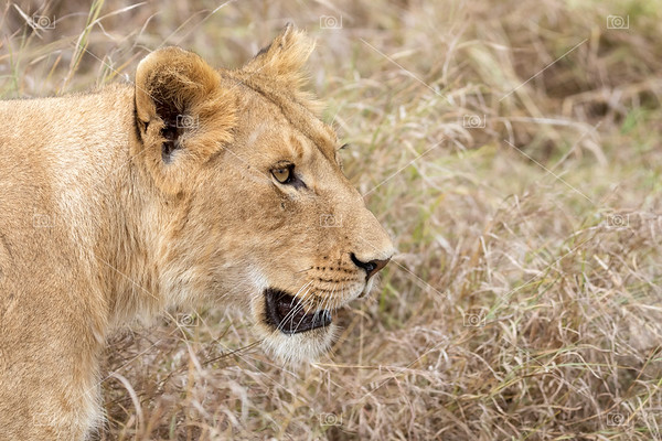 Lioness face in profile
