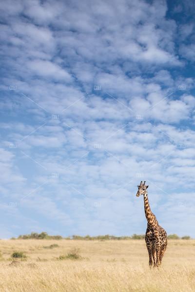 Giraffe standing in the long grass of the Masai Mara