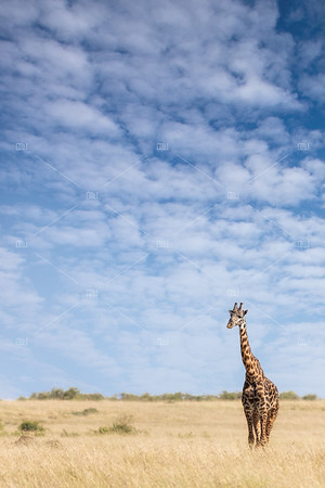 Giraffe standing in the long grass of the Masai Mara