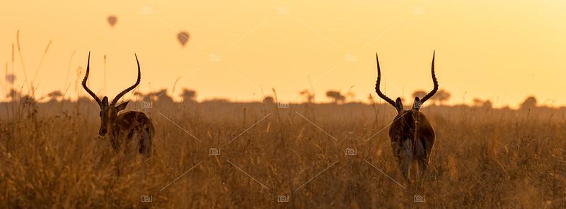 Impalas and balloons at dawn