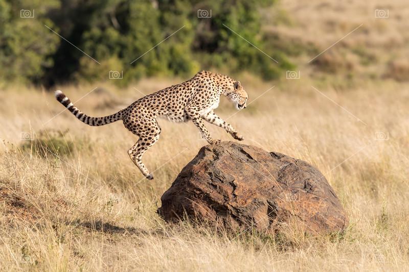 Cheetah leaps onto a rock in the Masai Mara