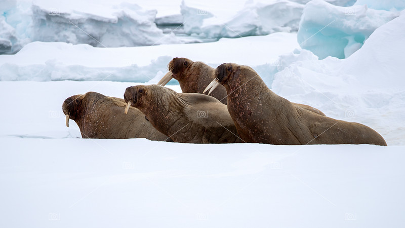 An ugly of walruses on the fast ice around Svalbard