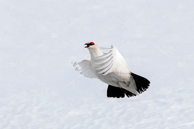 Adult male Svalbard rock ptarmigan in flight