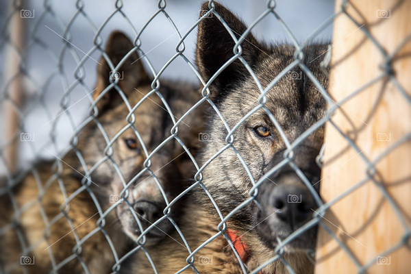 Caged husky sled dogs in Svalbard