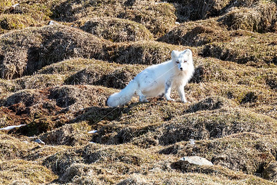 Artic fox with winter coat in Svalbard