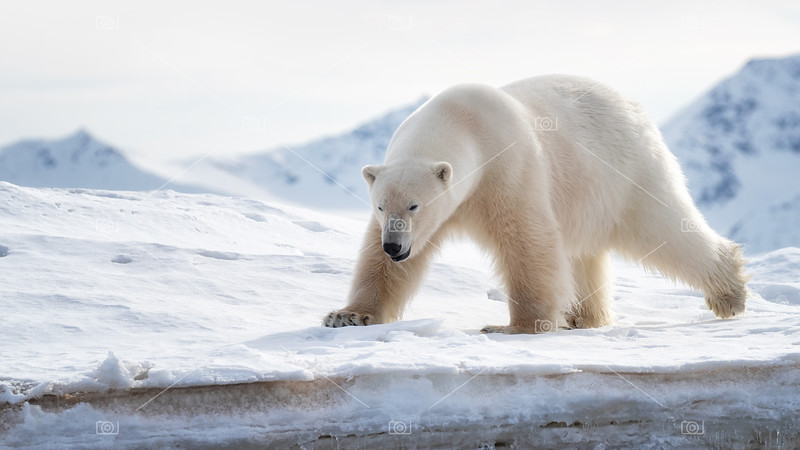 Adult male polar bear stands at the ice edge in Svalbard