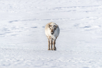 Young  female reindeer on the snow of Svalbard