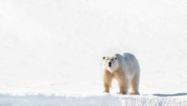 Adult male polar bear stands on the Svalbard snow
